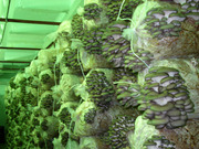 Вешенка мицелий,  грибные блоки